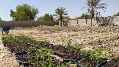تصویر از مورینگا، درختی برای جلوگیری از فرسایش خاک قشم که ارزش افزوده به ساکنان هدیه میدهد