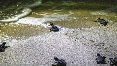 تصویر از ۴ هزار تخم لاکپشت ساحل شیب دراز قشم در آستانه تولد